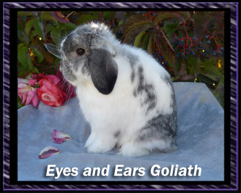 Goliath Broken Chin Holland lop