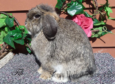 chestnut Holland lop
